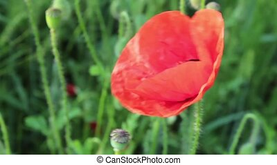 Poppy flower on a background of green swinging in the wind