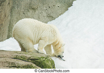 cute bear eating a fish - cute polar bear eating a fish on...