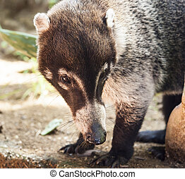 Male White-Nosed Coati - Close-up of a male white nosed...