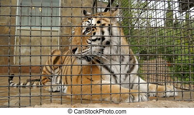 Tiger in the zoo cage HD