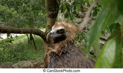 Eurasian Black Vulture - Aegypius monachus. It lives in the...
