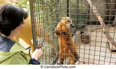 Woman feeding an animal in a zoo - Woman feeding an nasua in...