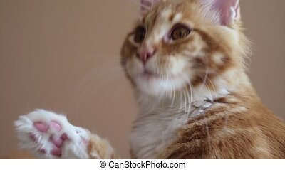 Maine Coon kitten washes - Playful red Maine Coon kitten...