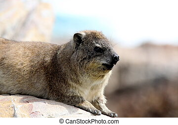 Dassie on the rocks - A Dassie relaxing on rocks near the...