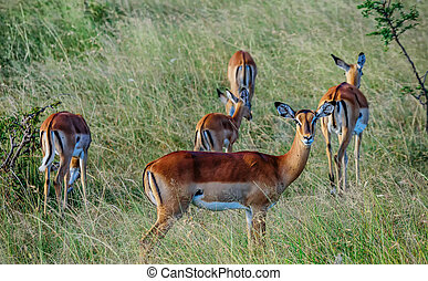Antilope crowd in Kenya, Africa