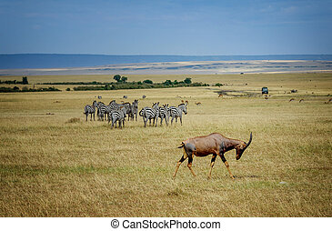A topi Antilope in Masai Mara Game reserve in Kenya, Africa