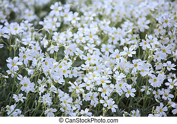 White flowers of Cerastium tomentosum is an ornamental plant...