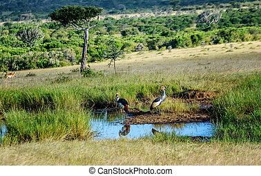 Grey crowned cranes in Kenya, Africa
