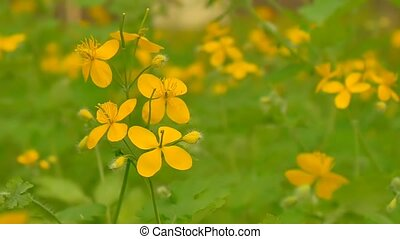 celandine flower closeup slow motion video - visible yellow...
