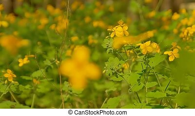 flowering celandine slow motion video - Celandine bloom...
