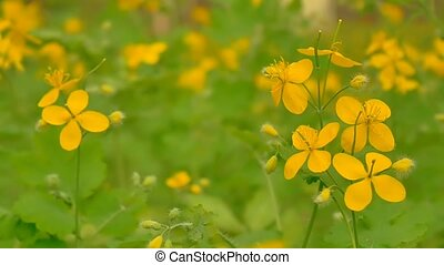 blooming yellow flowers of celandine slow motion video -...