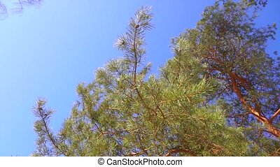 Pine and sunny blue sky, slow motion video clip