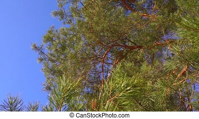 Pine branches with needles swinging against sunny blue sky,...