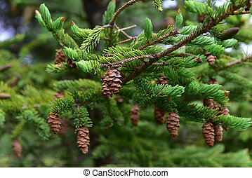 Pine cone on Bar Island - Pine cone on pine tree in the...