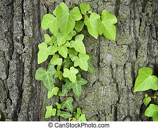 Ivy on a tree trunk