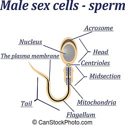 Diagram of the male sex cells - sperm. Isolated on a white...