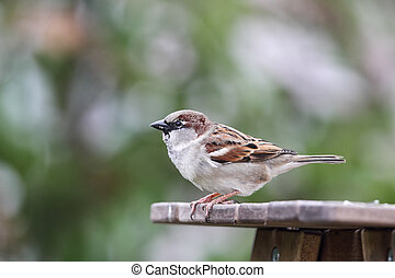 House Sparrow Passer domesticus sitting on a wooden table in...