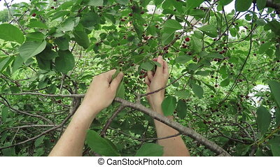 Picking berries on nature - In garden green Cultivating...