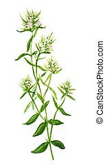 Thyme. Herbs and spices. Hand drawing with watercolors on...