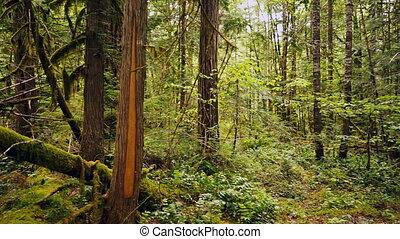 Man Walks Hiking Woods Oregon Cascade Mountain Forest - A...