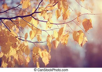 Yellow-gold leaves in the fall - Yellow-gold leaves of a...