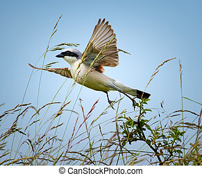 Red backed shrike taking off from a twig