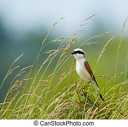 Red backed shrike (Lanius Collurio) perched on a twig in a...