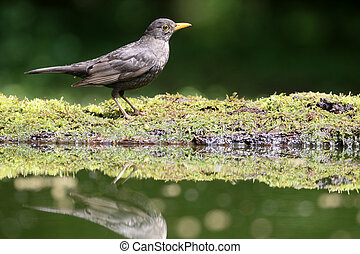 Blackbird, Turdus merula, single male by water, Hungary, May...