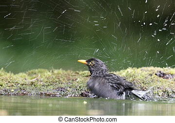 Blackbird, Turdus merula, single male in water, Hungary, May...