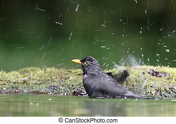 Blackbird, Turdus merula, single male in water, Hungary