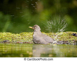 Blackbird, Turdus merula, single female in water, Hungary,...