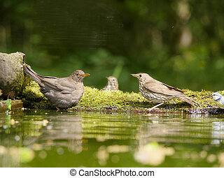 Blackbird, Turdus merula, single female with Song thrush in...