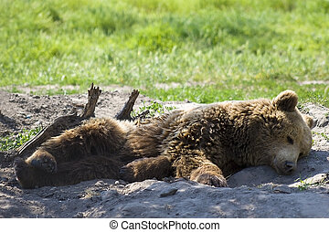 Sleeping bear - Brown bear relaxes the forest