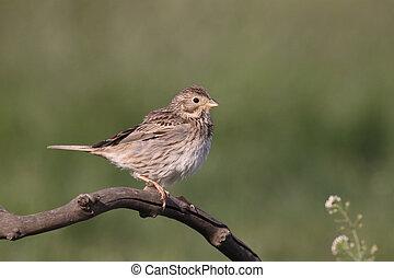 Corn bunting, Emberiza calandra, single bird on branch,...