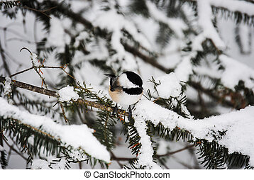 chickadee bird - Chickadee bird on balsam pine tree branch...
