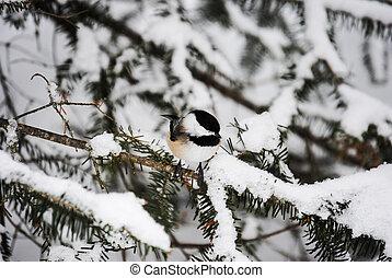 chickadee bird - Chickadee bird on balsam pine tree branch...