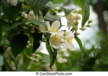 Philadelphus coronarius - Photo of the Jasmine Flower...