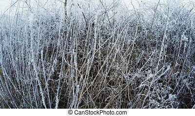 Hoarfrost on bushes - Camera pans to steadicam bushes...