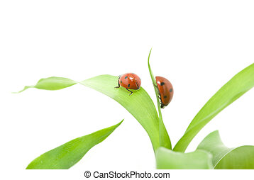 ladybug - red ladybug on green grass isolated