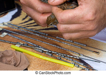 Bird Banding - Field Sparrow being examined during bird...