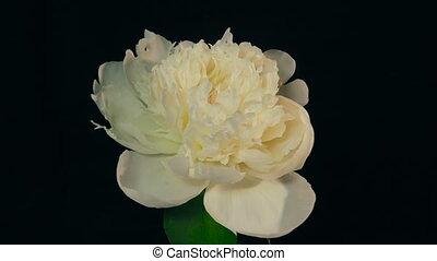 White Peony Flowering Timelapse 4k - Isolated Flower...