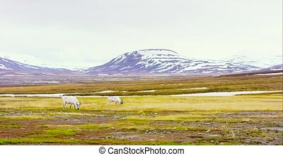 Two reindeers eats grass in the beautiful landscape of...