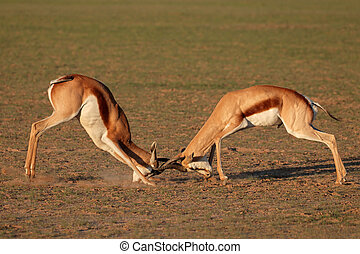 Fighting Springbok antelopes - Two male springbok antelopes...
