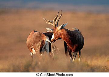 Blesbok antelopes Damaliscus pygargus standing in grassland,...