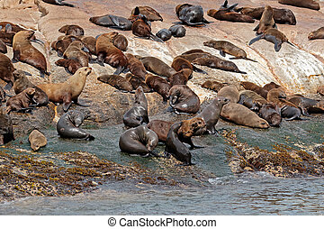 Brown fur seal colony - Brown Cape fur seal Arctocephalus...