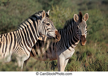 Plains Zebra portrait - Portrait of two plains (Burchells)...