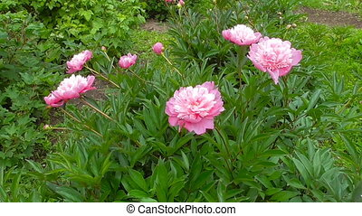 Flowers Peonies bloom - Pink Peonies bloom in summer in the...