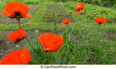Red poppies bloom in the garden