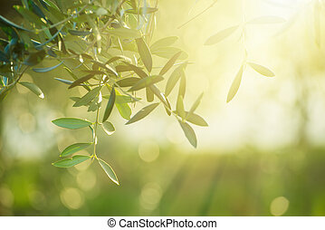 Olive tree with leaves, natural sunny agricultural food...