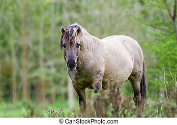 Konikhorse on the field - konik horse in the pasture eating...